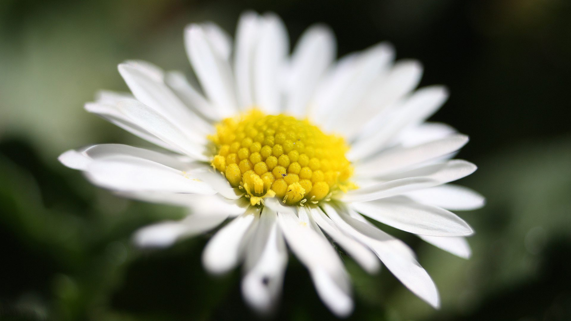 Best HD Wallpapers for Laptop 1080p with White Daisy Images | Best
