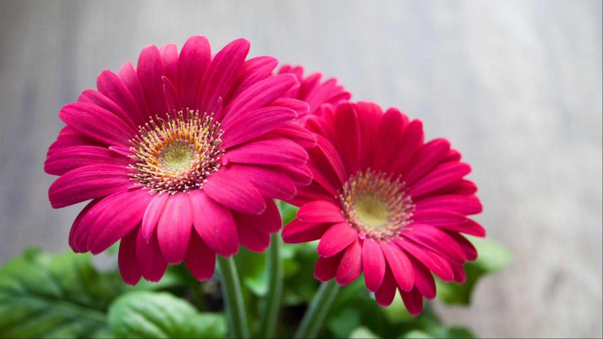 Best Hd Wallpapers For Laptop 1080p With Daisy Flower Pink Best Hd Wallpapers For Laptops And Smartphones