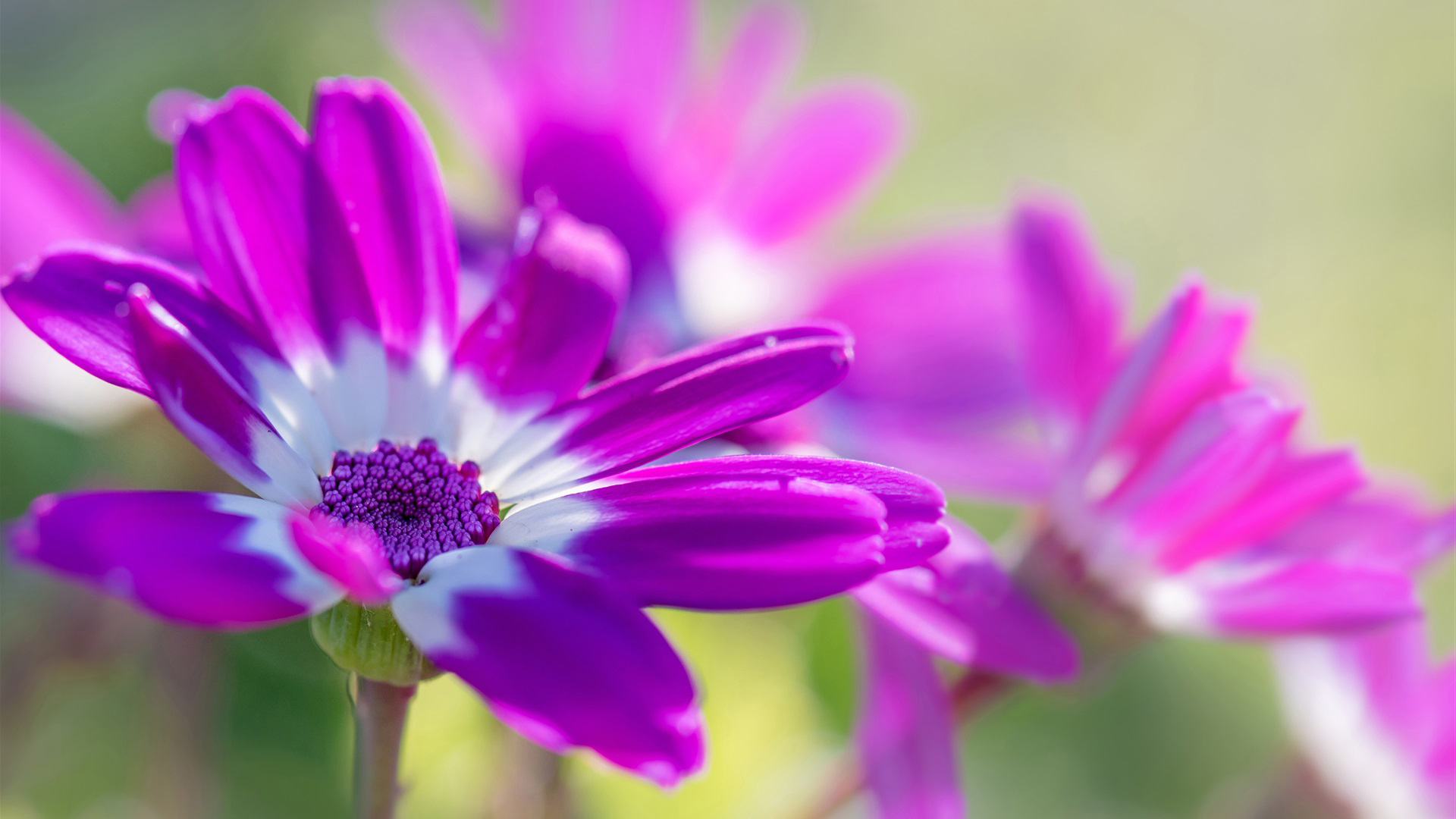 Best HD Wallpapers for Laptop 1080p with African Daisy Flower