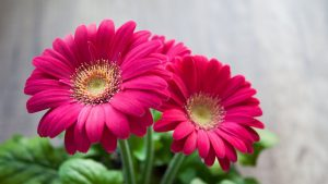 Best HD Wallpapers for Laptop 1080p with Daisy Flower Pink