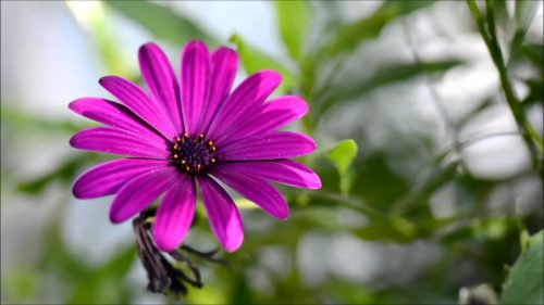 Best HD Wallpapers for Laptop 1080p with Pic of Daisy Flower
