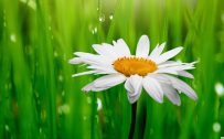 Best HD Wallpapers for Laptop 1080p with White Daisy Flower Images