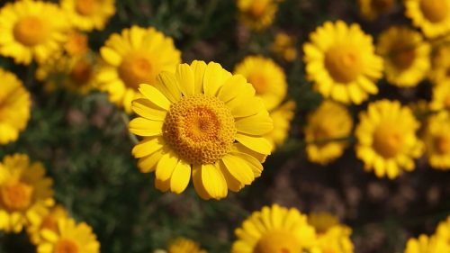 Best HD Wallpapers for Laptop 1080p with Yellow Daisy Flower