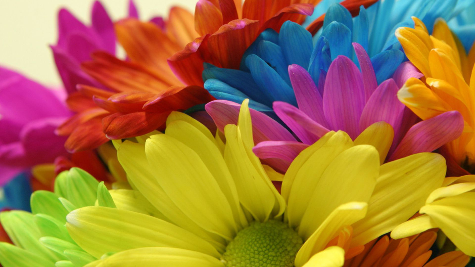 Colored Daisy Flower Images Free as Best HD Wallpapers for Laptop 1080p