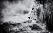 Black and White Lion Wallpaper HD