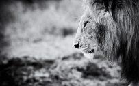 Black and White Lion Wallpaper HD