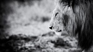 Black And White Lion Wallpaper Hd Best Hd Wallpapers For Laptops