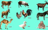 Domestic Animals with Names and Pictures