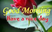 Good Morning Images with Red Rose Flower for Mobile Phones