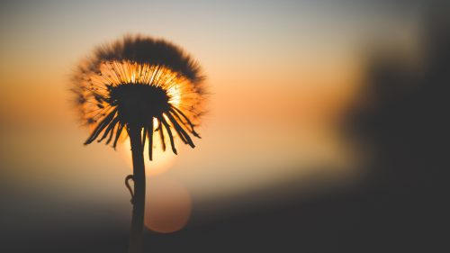Nature Wallpaper in 4K with Dandelion Sunset Macro Photography