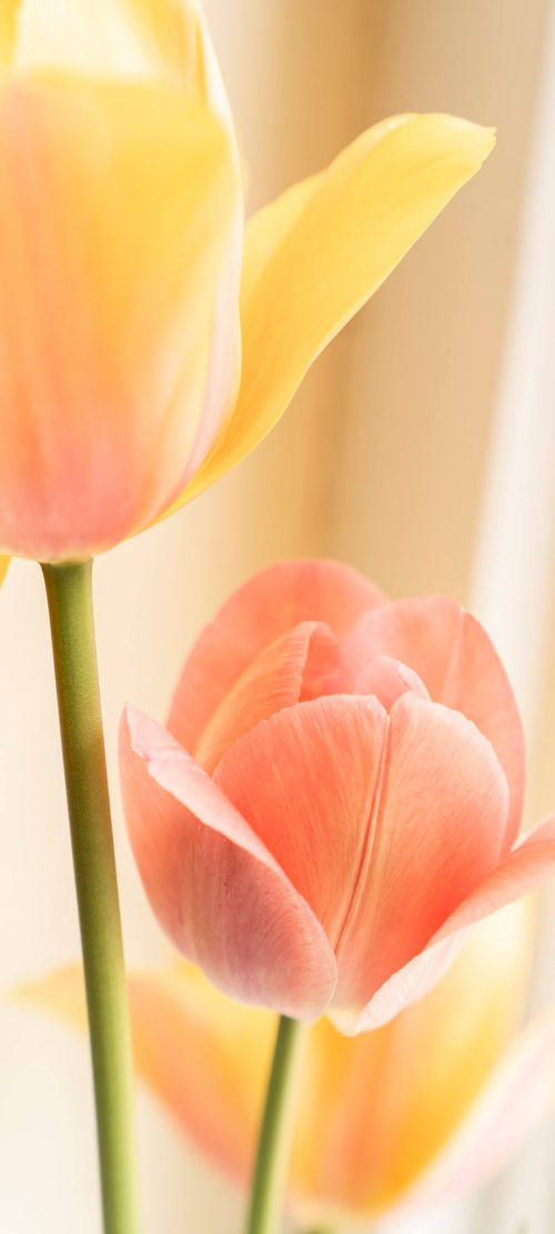 Picture of Yellow Tulip Flower for Samsung Galaxy S21 Ultra 5G Wallpaper